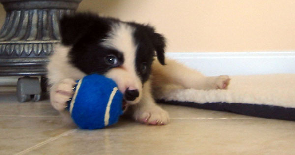 Border Collie Playing with Ball