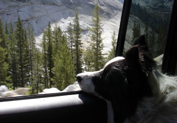 Border Collie Car Window
