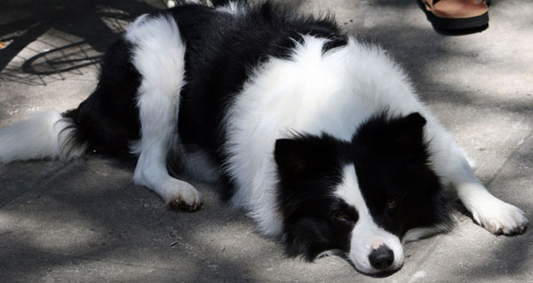 Border Collie Clever Dog