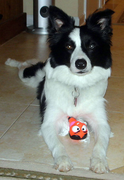 Border Collie Herding Toys