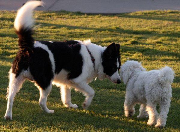Border Collie Around Other Dogs