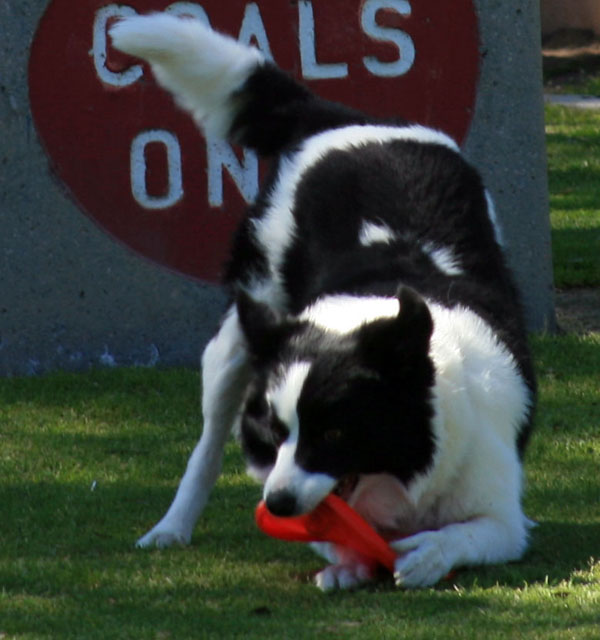 Border Collie Picking Up Frisbee