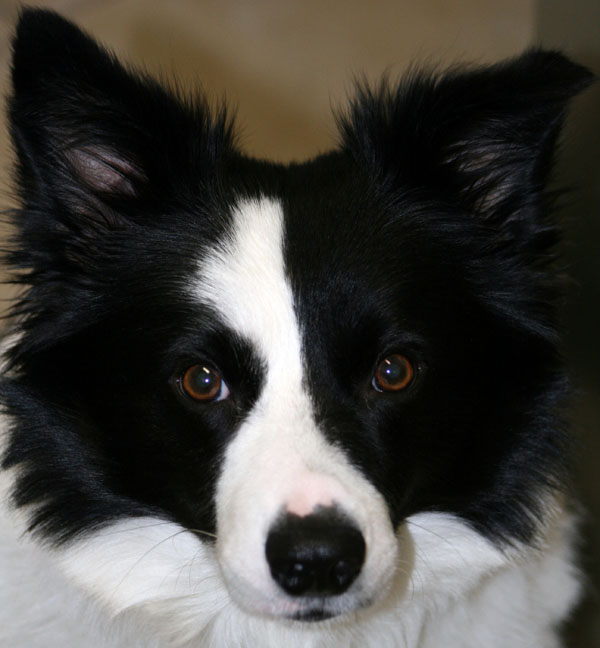 Border Collie Brown Eyes Profile