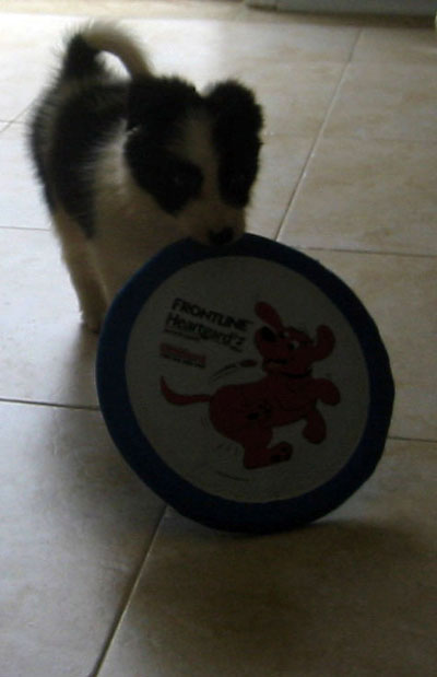 Border Collie Frisbee Catch