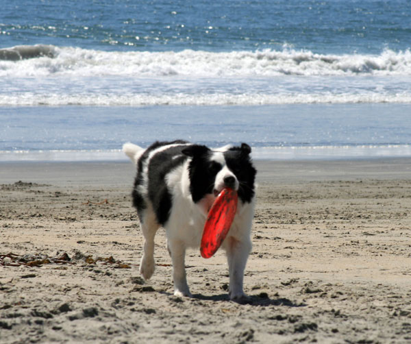 Border Collie Returning Frisbee