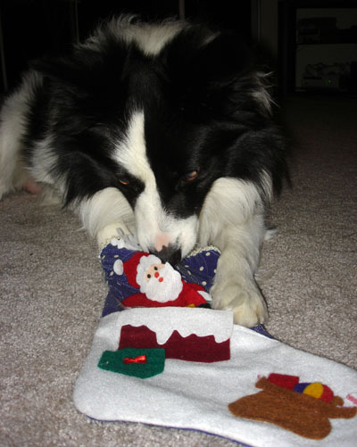 Border Collie Present