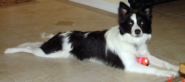 Border Collie Stretching